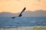 オオワシ Steller's sea eagle 背景は国後島 The background is the Kunashir Island