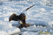 Steller's sea eagle White-tailed eagle