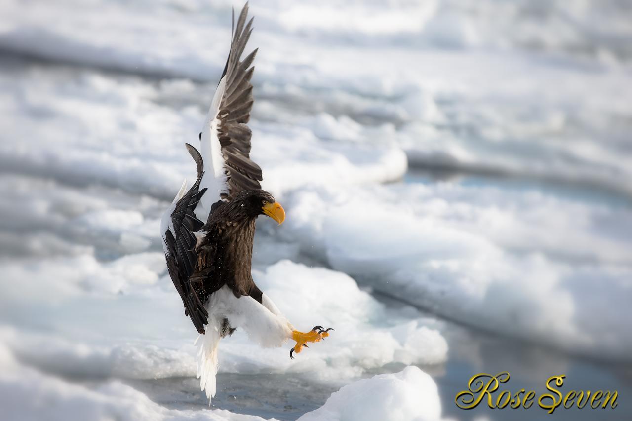 Hawk Eagle Owl IV (Shiretoko 2/2014)