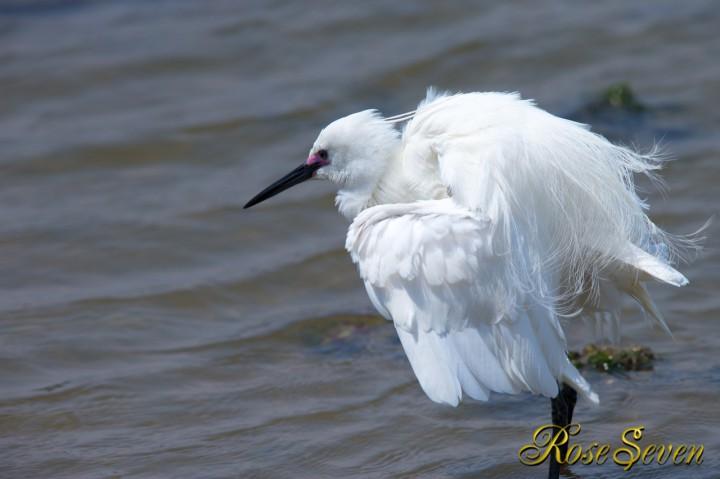 Little egret(Nuptial color)