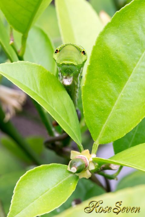 Lemon and caterpillar