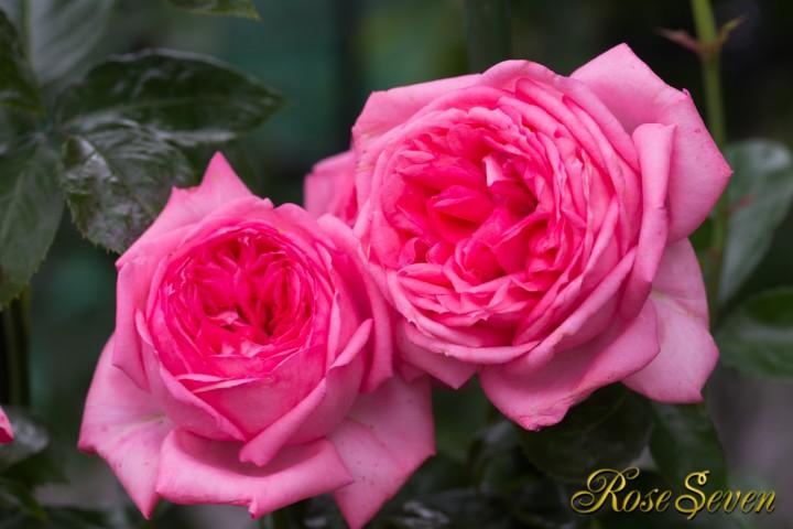※ラ ローズ ドゥ モリナール La Rose de Molinard