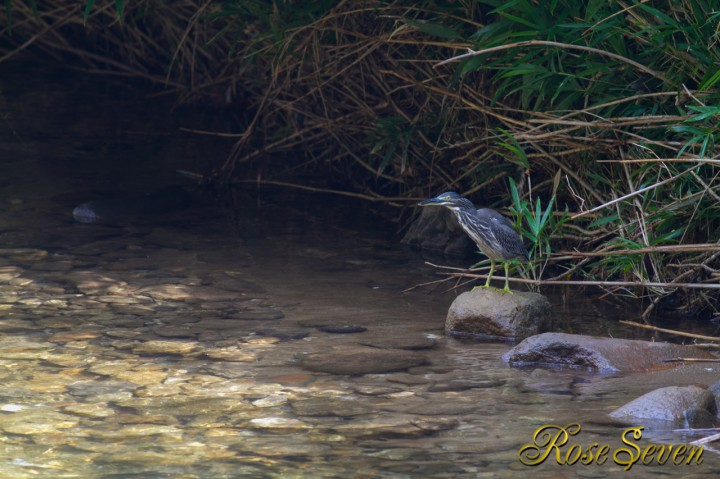 Green-backed heron Striated heron ササゴイ ルアー