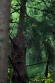 アカショウビン Ruddy Kingfisher ※営巣放棄した有名探鳥地ではありません