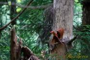 アカショウビン Ruddy Kingfisher 巣作り中