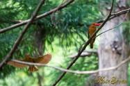 アカショウビン Ruddy Kingfisher ペア 巣作り中
