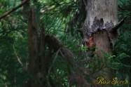 アカショウビン 巣作りは雌雄交代で行われる