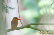 アカショウビン 餌場横 Ruddy Kingfisher