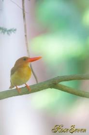 アカショウビン メス  Ruddy Kingfisher