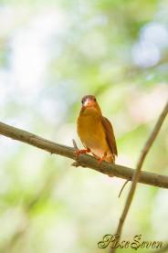 アカショウビン オス  Ruddy Kingfisher