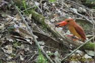 アカショウビン(オス) サワガニ Ruddy Kingfisher
