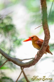 アカショウビン メス 求愛給餌後  Ruddy Kingfisher