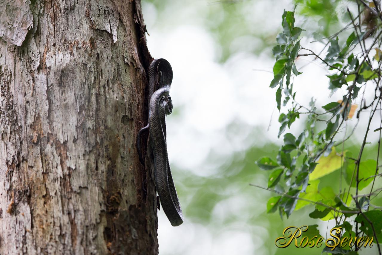アカショウビンの営巣木にヘビ