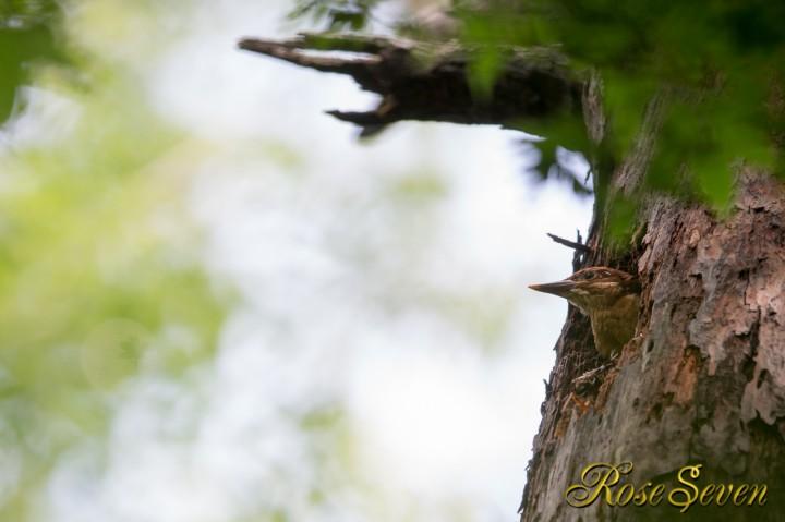 アカショウビン 巣立ち日 1羽目雛 トリミング有り