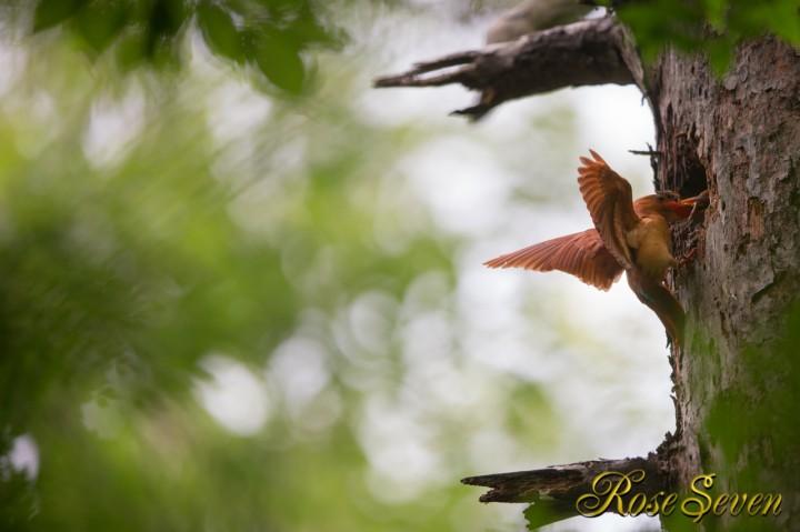 アカショウビン 巣立ち日の餌運び