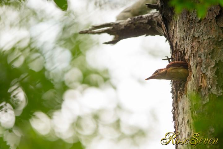 アカショウビン 巣立ち 3羽目