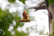 アカショウビン 巣立ち  Ruddy Kingfisher Nesting