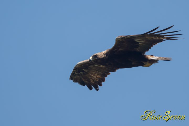 イヌワシ Golden eagle M-Mode ISO-400 F5.6 SS 1/1250