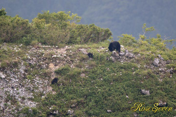 小熊を見るイヌワシ