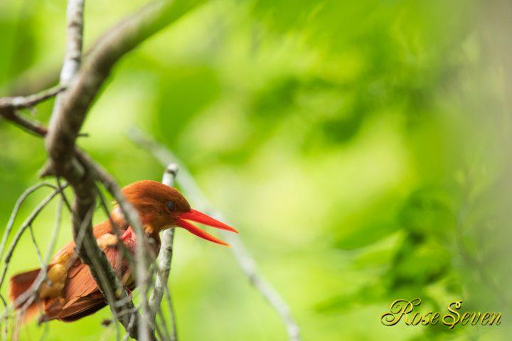 アカショウビンは足が短く 頭部の掻きかたは羽上から足をだしてます ヤマセミやカワセミと同じ アカショウビン RuddyKingfisher