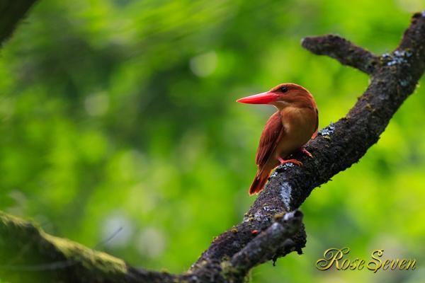 アカショウビン Ruddy Kingfisher