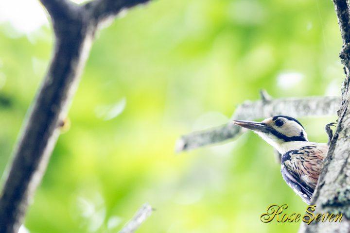 オオアカゲラ 若鳥 2019